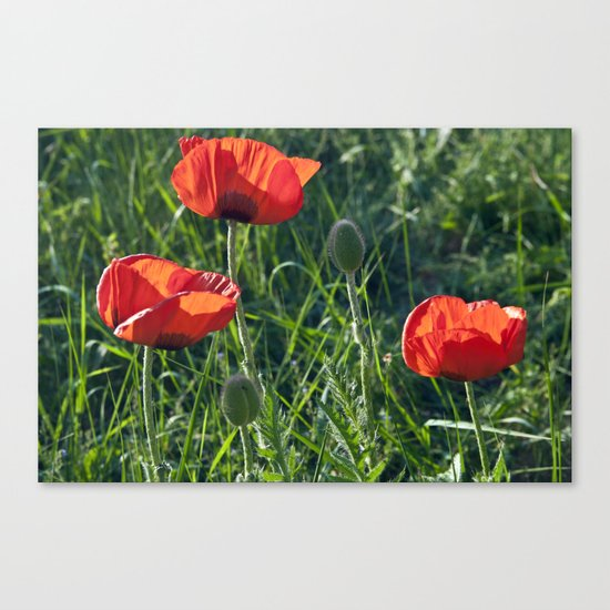 Red Poppies on the summer meadow Canvas Print