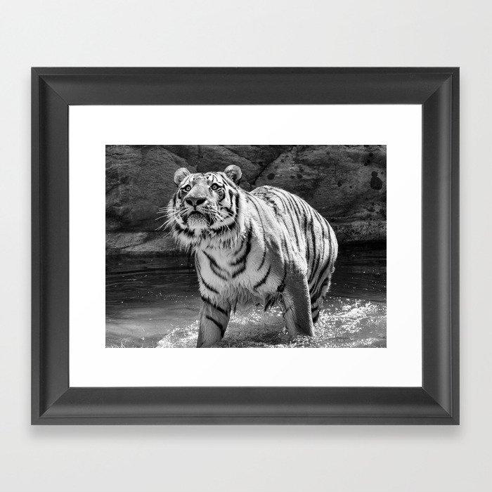 Tiger Photography | Animal | Wildlife | Big Cat | Feline | Mammal | Art Gerahmter Kunstdruck