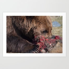 Hungry Alaskan Grizzly Bear - Eating Raw Meat Art Print