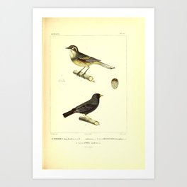 Rufous sided Warbling Finch Carbonated Sierra Finch muscicapa leterophrys13 Art Print