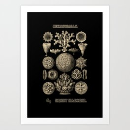 """""""Hexacoralla"""" from """"Art Forms of Nature"""" by Ernst Haeckel Art Print"""