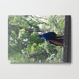 Proud peacock at the Bronx Zoo Metal Print