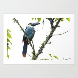 Tucan of the Andes Art Print