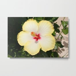 Pale Yellow Hibiscus Flower - Front View  Metal Print