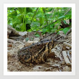 Big Toad On A Path In The Forest Art Print