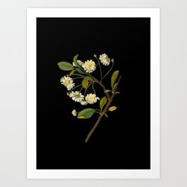 Prunus Cerasus Mary Delany Vintage Botanical Paper Flower Collage Art Print