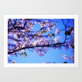 Cherry Blossoms III Art Print