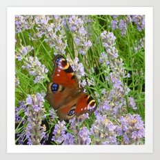 A Peacock Butterfly On A Laveder Bush Art Print