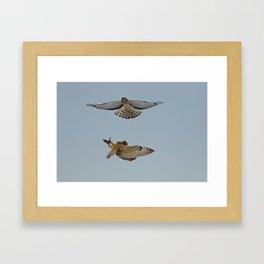 Short Eared Owl and Northern Harrier Framed Art Print
