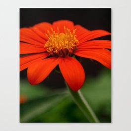 Red African Daisy Canvas Print
