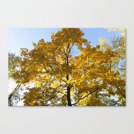 yellowed maple trees in autumn Canvas Print