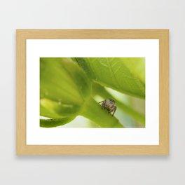 A Jumping Spider (Salticidae) hunts in the garden Framed Art Print