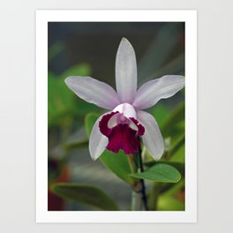 Cattleya Orchid (The Corsage Orchid) Art Print