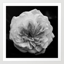 Alchymist Rose Black & White Nature / Floral Photograph Art Print
