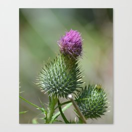 Bull Thistle Canvas Print