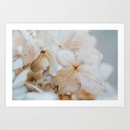 Pastel Dry Hydrangea Art Print