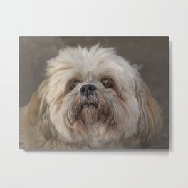 The Shih Tzu Metal Print