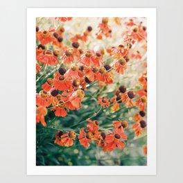 Echinacea flower field Art Print
