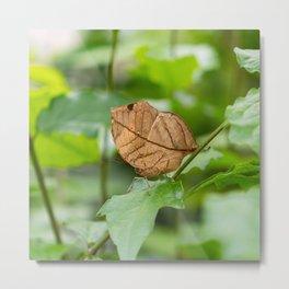 Orange oakleaf, Indian oakleaf or dead leaf, is a nymphalid butterfly Metal Print