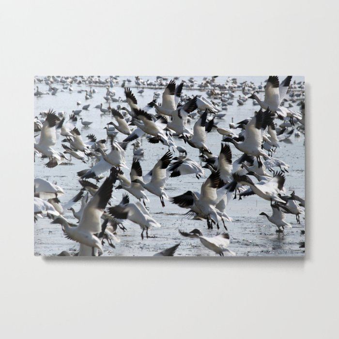 Oie des neiges - Snow Goose - ganso blanco Metal Print