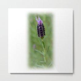 Lavender 2..... Metal Print