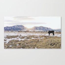 Calf at Snowy Sunset in Boulder Colorado Canvas Print