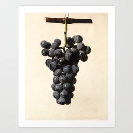 Vintage Concord Grapes Illustration Art Print