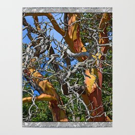 MADRONA TREE DEAD OR ALIVE Poster