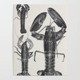 Vintage Lobster Photograph (1911) Poster