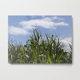 Maize and blue skies Metal Print