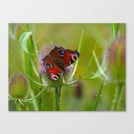 Peacock Butterfly on a Teasel Flower 4 Canvas Print
