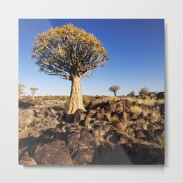 Quiver Trees in Namibia Metal Print