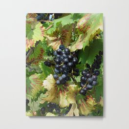 Grapes on a vine Metal Print