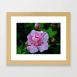 Raindrops On Pink Rose Framed Art Print