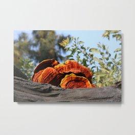Oyster mushroom Metal Print