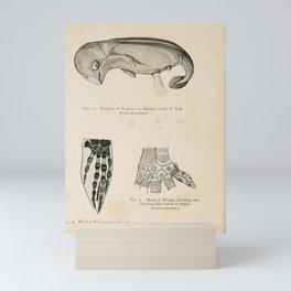 W Sidney Berridge - A Book of Whales (1900) - Figures 1-3: Porpoise Embryo; Blue Whale & Beluga Fin Mini Art Print