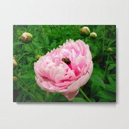 Bumble Bee on a Pink Peony Metal Print