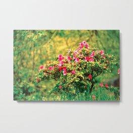 Azalea blooming Metal Print