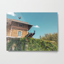 Two birds with one stone - flying pigeon and posing peacock Metal Print