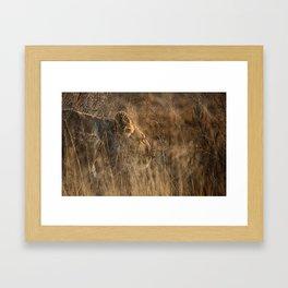 Lioness on Alert Framed Art Print