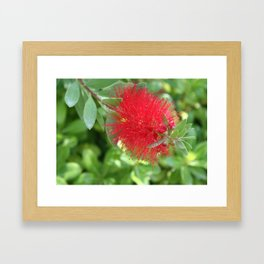 Beautiful Bottle Brush Flower With Garden Background Framed Art Print