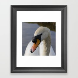 Mute swan cob Framed Art Print