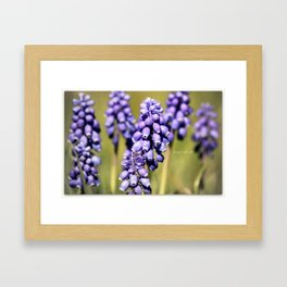 Ode to the baby grape hyacinths Framed Art Print