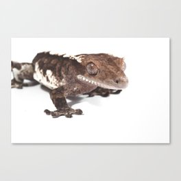 Crested gecko on white Canvas Print
