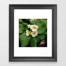 Little primula flower at the park Framed Art Print