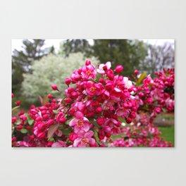 Apple Blossom 1 Canvas Print