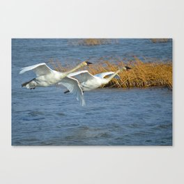 Swan Pair In Flight Canvas Print