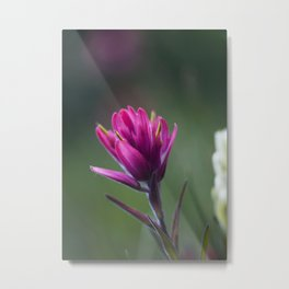 Pink Indian Paintbrush Metal Print