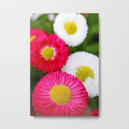 Colourful bellis Metal Print
