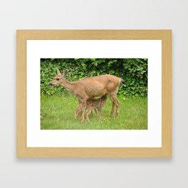 Mom Deer (Columbian Black-tailed Deer) nursing bambi's Framed Art Print